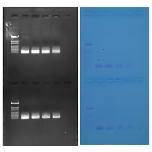 Discovering Quantitative PCR Amplification and Analysis
