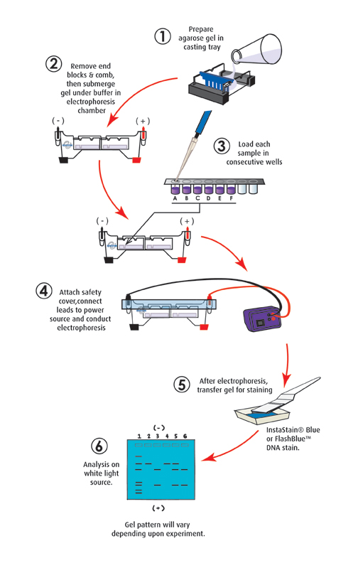 109 dna fingerprinting by restriction enzyme patterns price 8900 ccuart Images