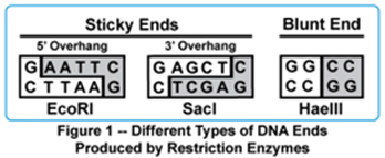 biotech basics restriction enzymes